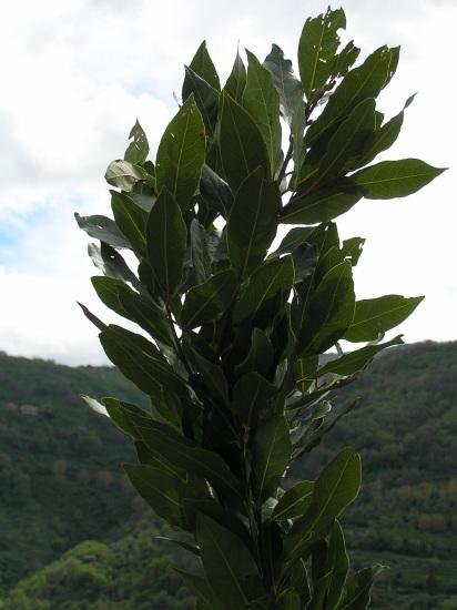 Bay leaf laurel plant