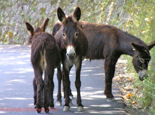 Sicilian donkeys
