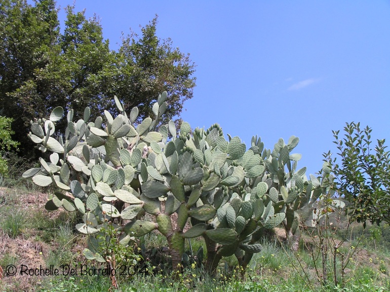 Up to the prickly pears
