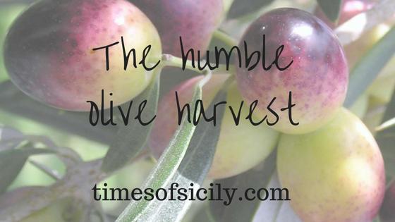 olive harvest blog