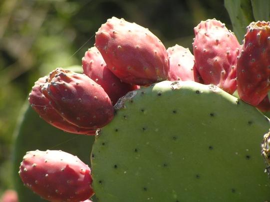 Eatable cactus